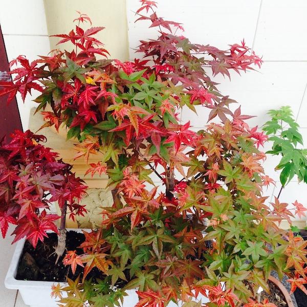 Cây phong lá đỏ cho khuôn viên
