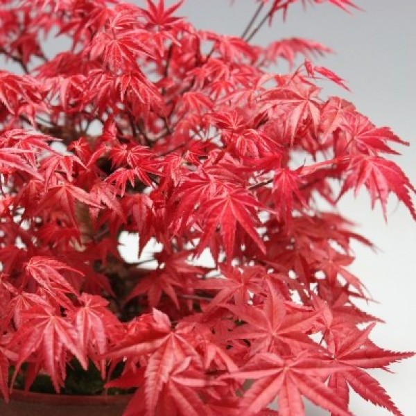 Cây giống phong hải tinh đỏ 10cm