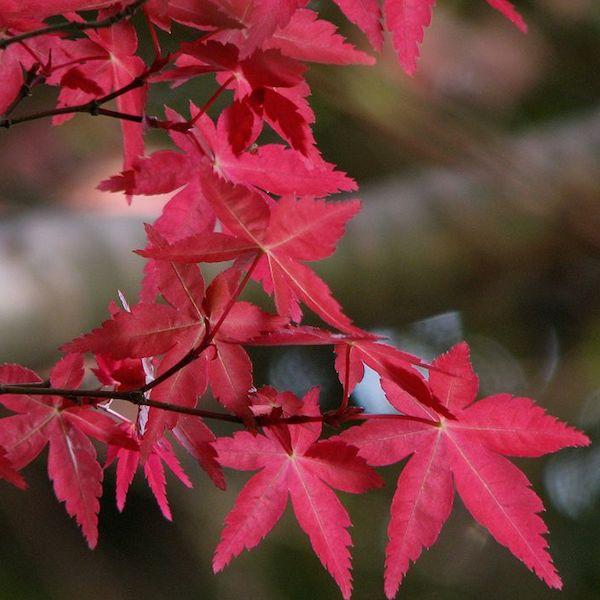 Phong hải tinh đỏ bonsai