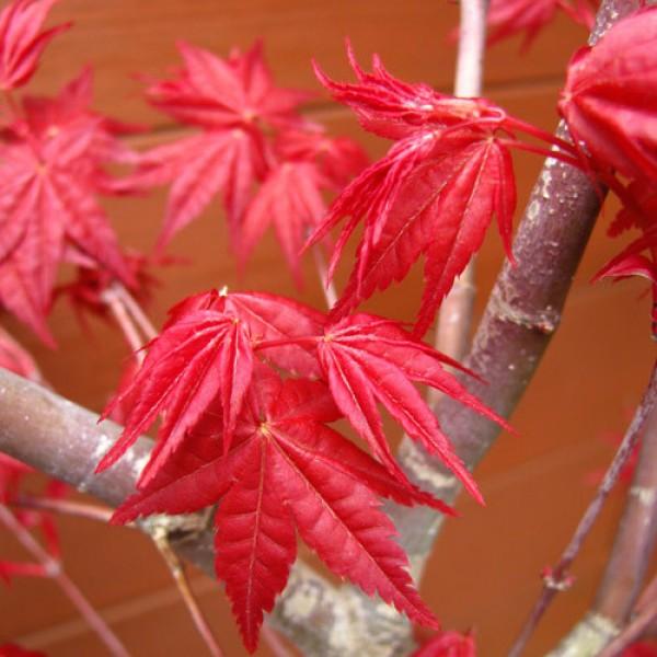 Cây giống phong hải tinh đỏ 30cm
