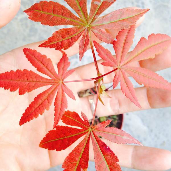 Cây giống phong hải tinh 10cm