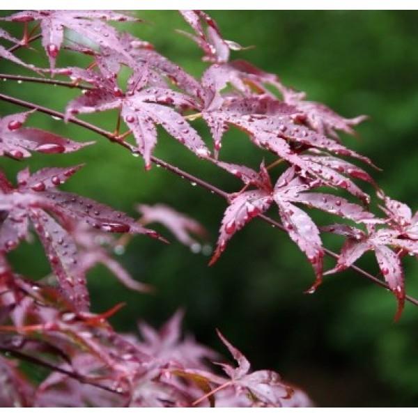 Cây giống phong hồng diệp 10cm