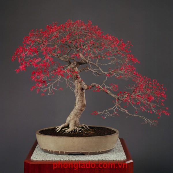 Đặt hàng cây bonsai theo yêu cầu