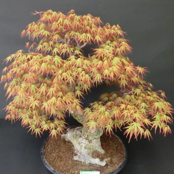 Cây phong vỏ sần bonsai