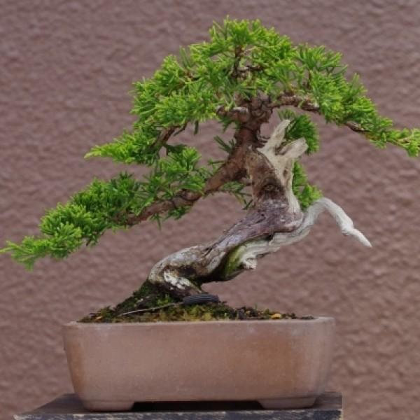 Cây giống tùng cối Itoigawa Shimpaku