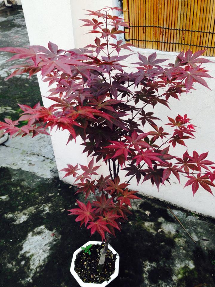 cây phong hải tinh Nomura mùa xuân 2015