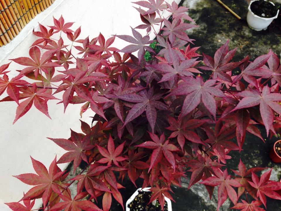 cây phong hải tinh Nomura