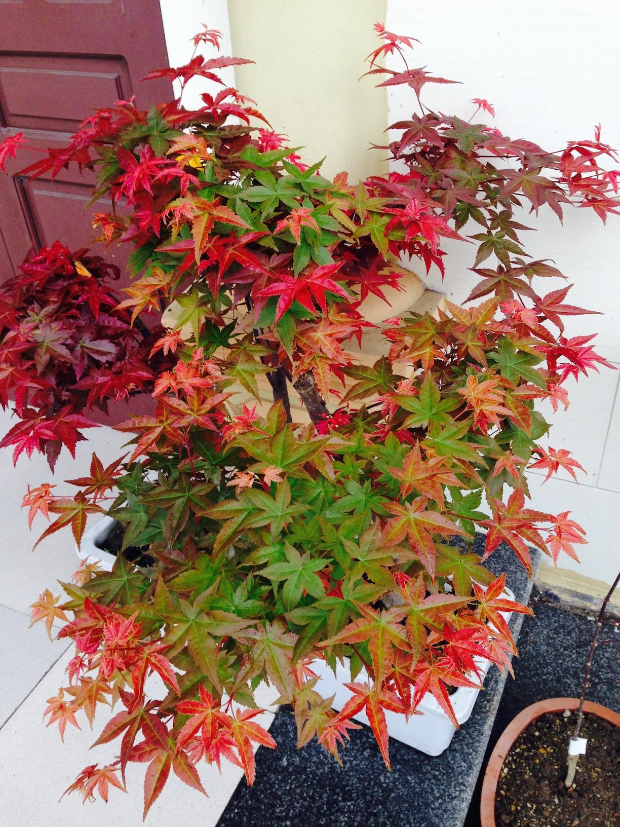 Cây phong lá đỏ Nhật Bản đang chuyển màu lá