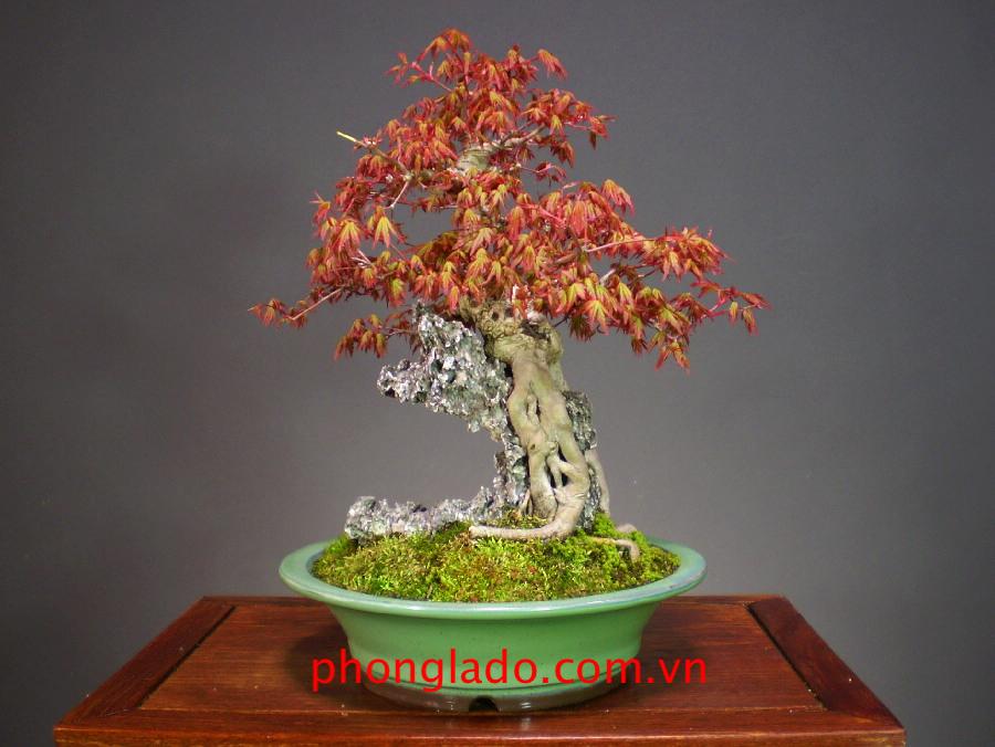 cây phong núi bonsai
