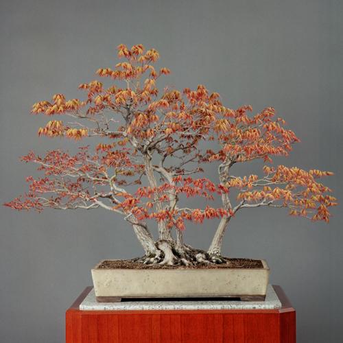 cây phong núi Nhật Bản