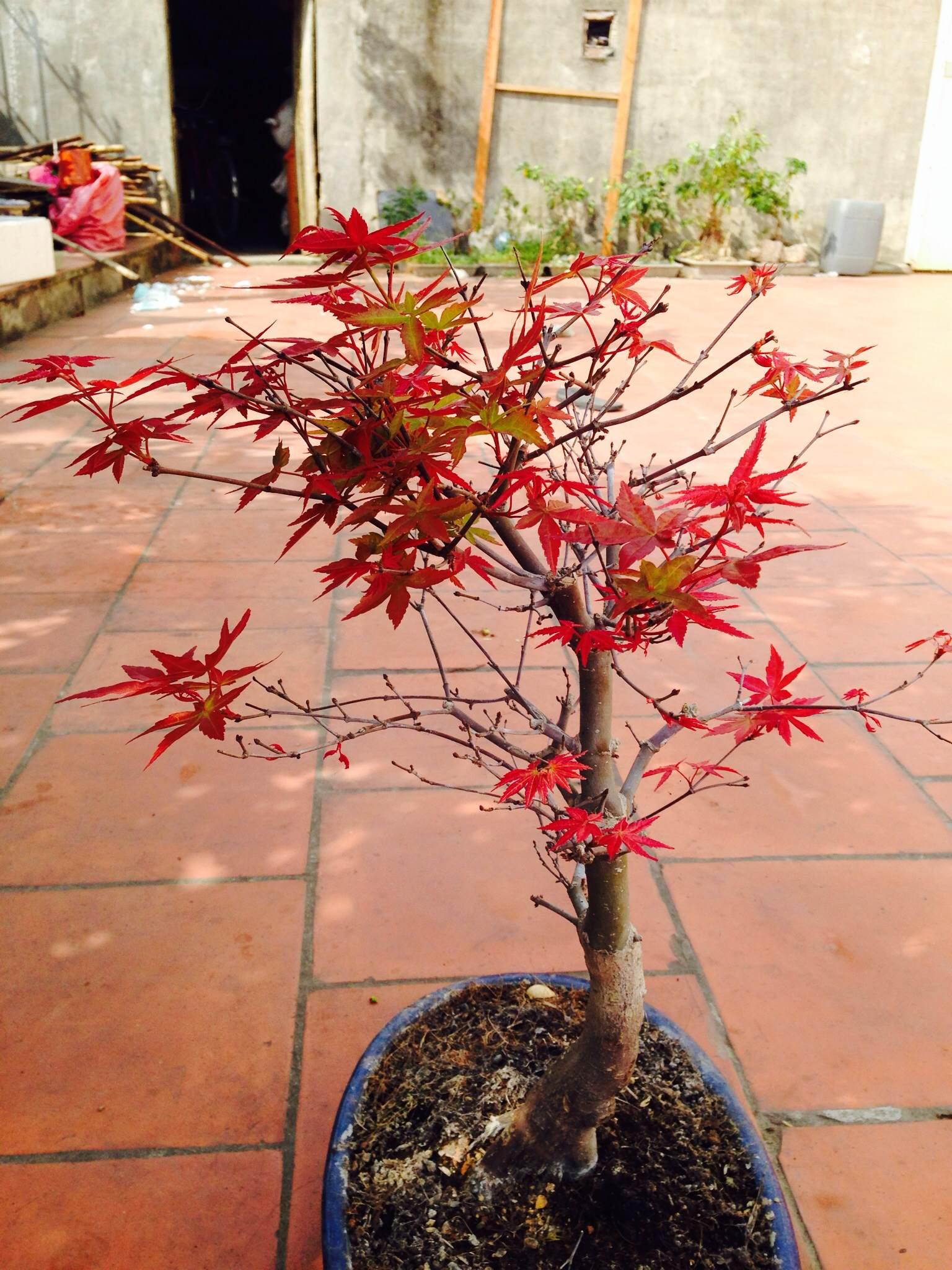 cây phong Nhật Bản - giống hải tinh đỏ