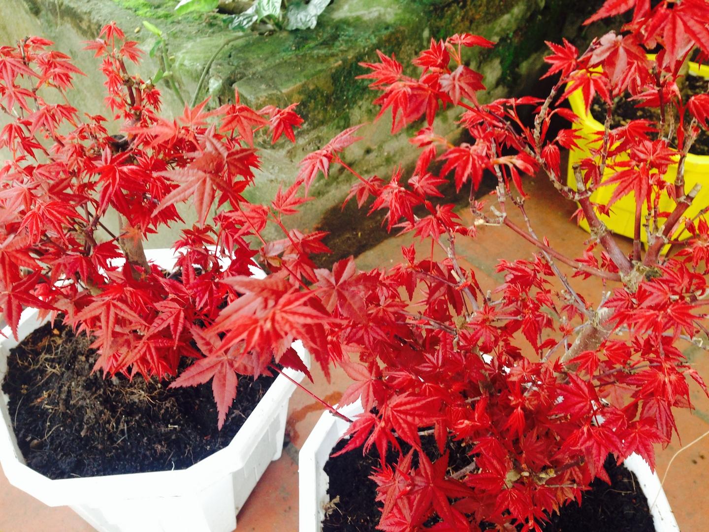 cây phong hải tinh đỏ - ảnh 2015