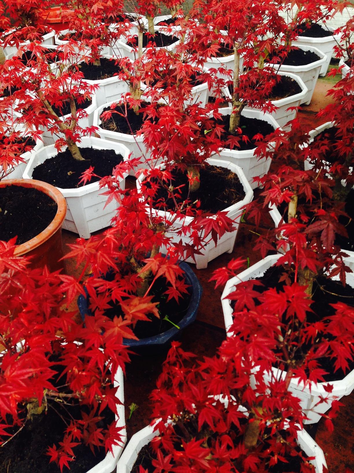 cây phong lá đỏ Nhật Bản tại vườn Bắc Ninh