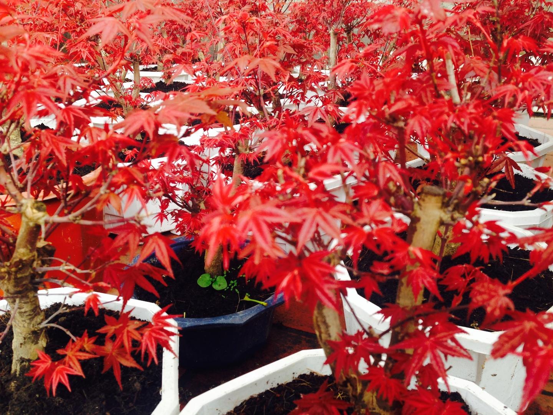 cây phong Nhật Bản - phong hải tinh đỏ
