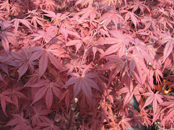 sắc màu lá phong hải tinh trong xuân