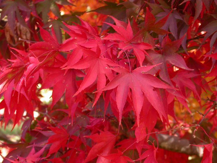 Cây phong vương rực rỡ với màu lá đỏ