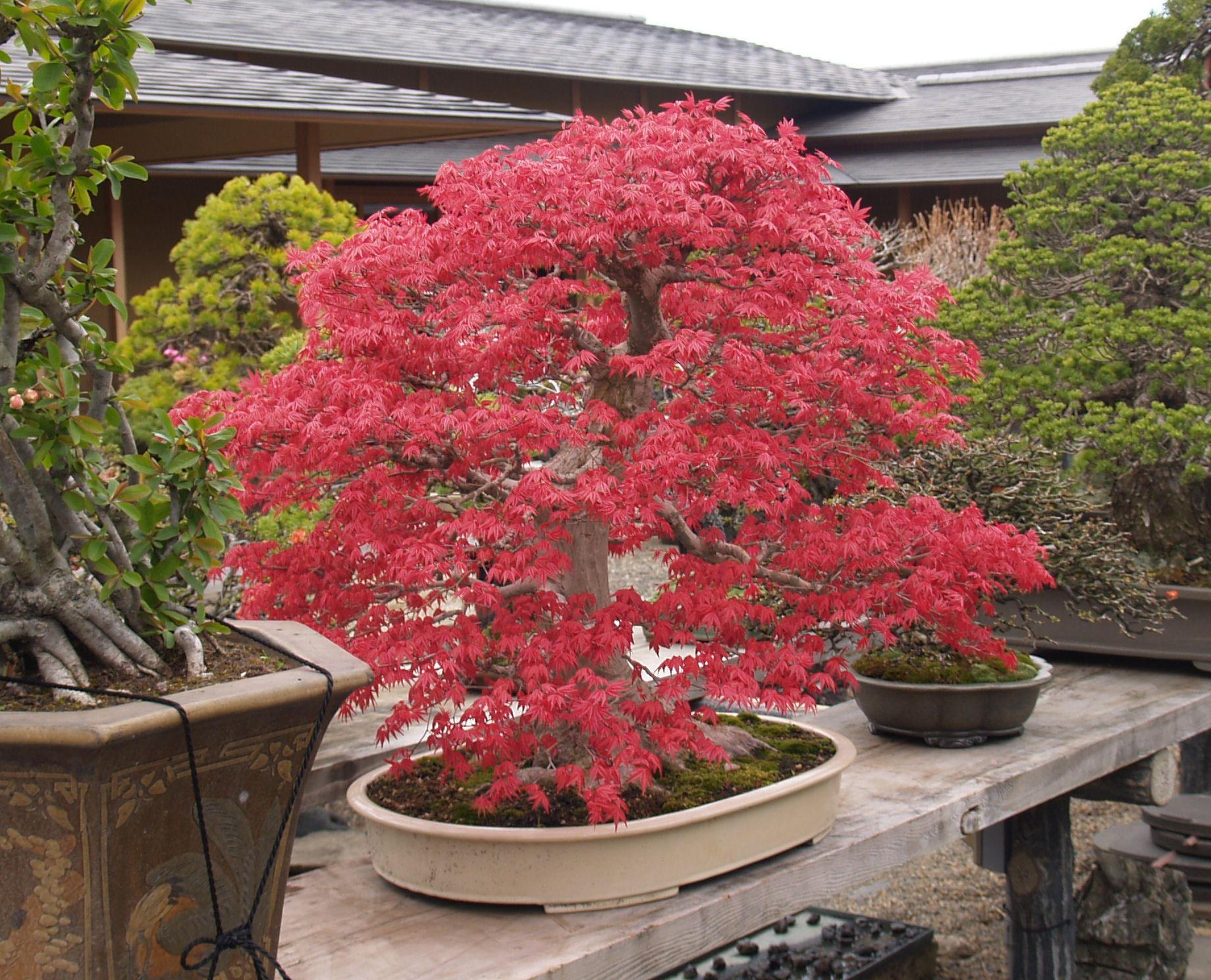 Màu lá đỏ tươi của cây phong hải tinh đỏ