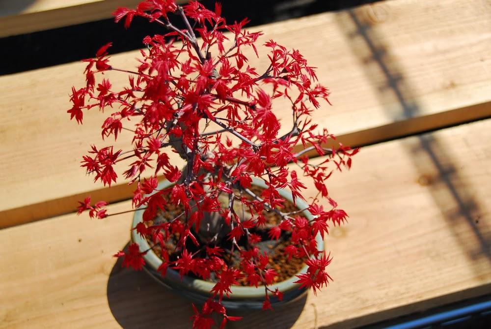 Cây phong hải tinh đỏ xuất xứ Nhật Bản