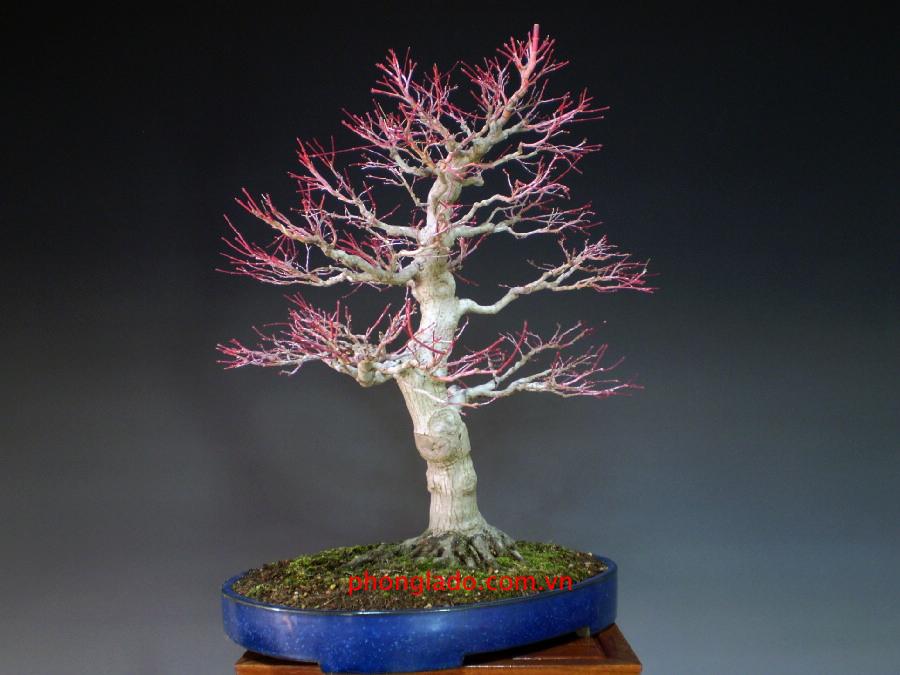 Cây phong vỏ san hô khi rụng lá
