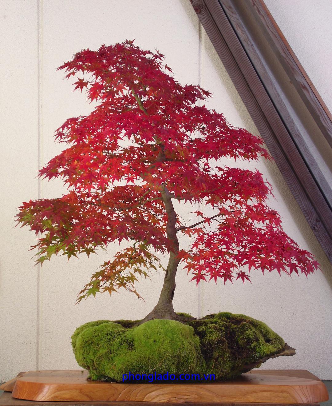 cây phong Nhật Bản