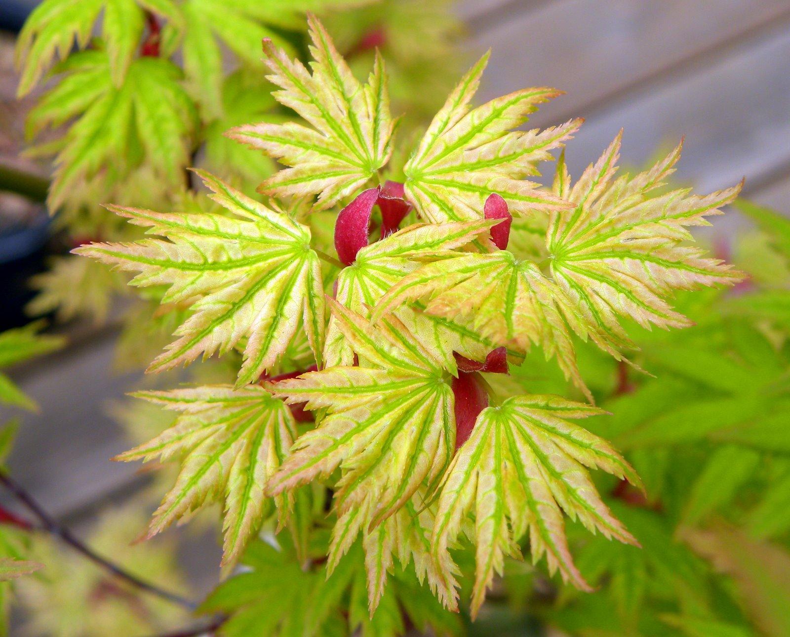 cây phong phật thủ - xuất xứ Nhật Bản