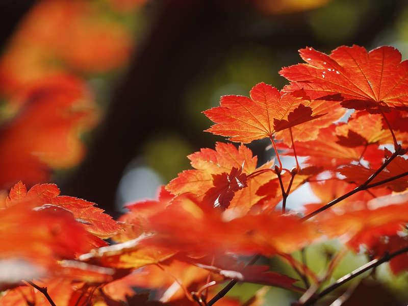 Lá cây phong vũ điểu rực rỡ màu đỏ - cam