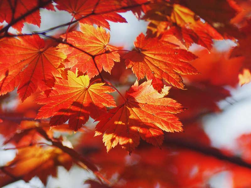 Lá cây phong vũ điểu rực rỡ khi chuyển màu đỏ - cam