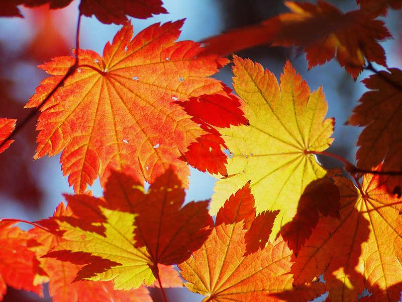 Cây phong vũ điểu khi lá chuyển màu