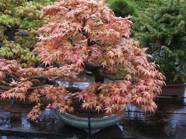 Lá cây phong thiên điểu khi đang dần chuyển màu