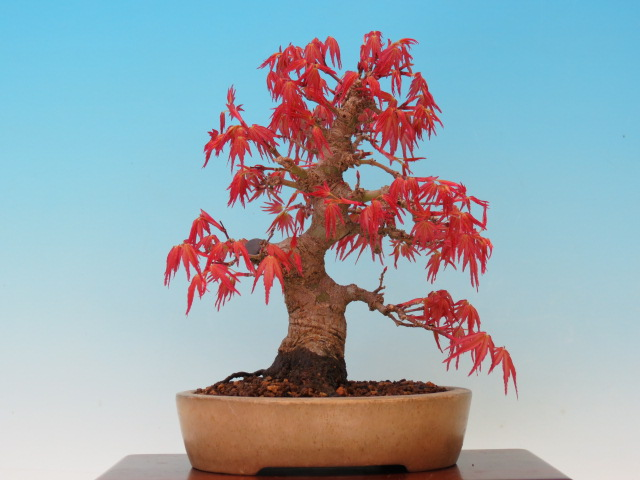 Cây phong thiên điểu bonsai