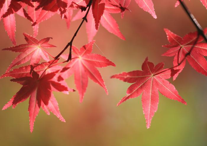 cây phong thổ cẩm - Nhật Bản