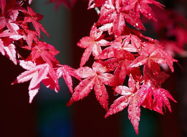 Cây phong thổ cẩm lá đỏ rực rỡ