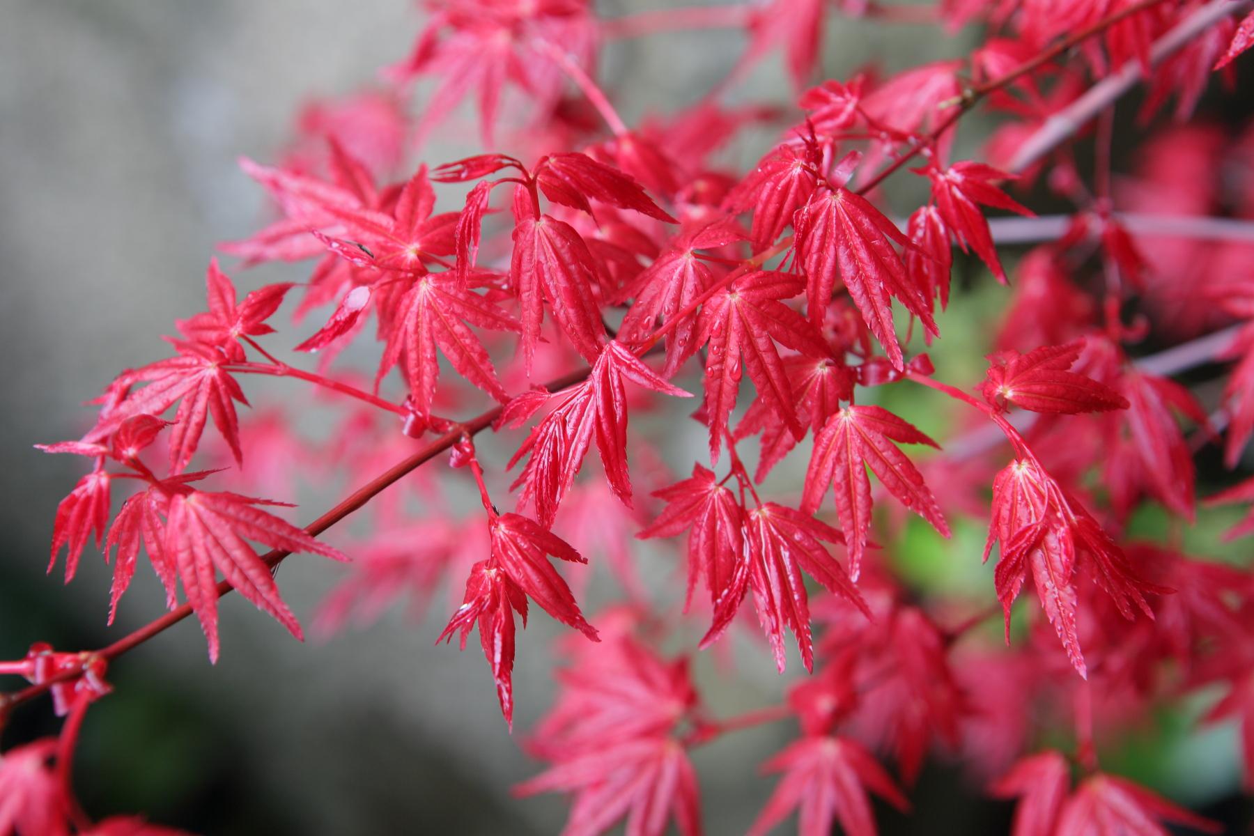 Màu đỏ tươi của giống phong thủy triều đỏ